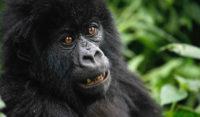 gorilla-safari-tours-in-uganda.jpg