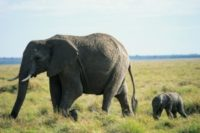 African Elephant and Calf.jpg