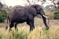 elephant murchison primate world safaris.jpg